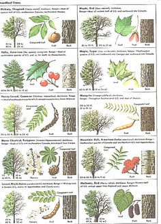 How Can Leaves Identify A Tree - Phenology - Science with Grambo----- Their sugar maple looks an awful lot like a Norway Maple - not so good for maple sugar. Trees And Shrubs, Trees To Plant, Garden Trees, Garden Plants, Tree Leaf Identification, Baumgarten, Flora Und Fauna, Tree Leaves, Pine Tree