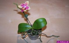 orchid identifying