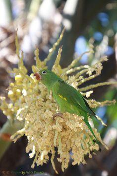 Yellow-chevroned Parakeet(Brotogeris chiriri chiriri) photographed by Flavio Cruvinel Brandao in Brasilia Brazil on 9th February 2014