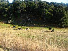 Vista do campo, à margem da Auto-estrada 1 para Lompoc, Califórnia, USA.  Fotografia: Cathy Berry no Flickr.