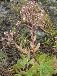 Aeonium decorum (Green Pinwheel) → Plant characteristics and more photos at: http://www.worldofsucculents.com/?p=5675