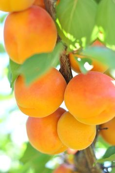 ALPERCE, DAMASCO - Apricots, right off the tree.