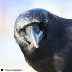 One of my FAVORITE crowtographers! Chad still cant believe we are leaving. Says it seems unfair as he was really hoping to cash in on the peanut train. Crows, Be Still, Believe, Train, Bird, My Favorite Things, Animals, Instagram, Crows Ravens