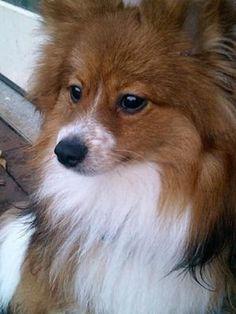 Toby the Pomeranian/Sheltie