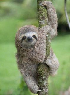 I can't go out today, I'm freshening my sloth. I can't go out today, I'm freshening my sloth. Baby Sloth Pictures, Sloth Photos, Cute Baby Sloths, Baby Otters, Three Toed Sloth, Tier Fotos, Cute Little Animals, Jungle Animals, Cutest Animals