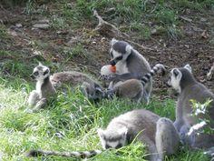 famille de lémurien découvrant une carotte figée dans de la glace. Zoo de Jurques