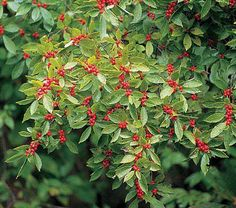 Although evergreen Hollies are better known, Ilex verticillata (our native deciduous Holly) is a valuable shrub. Both the male and female plants have good, rich green summer foliage. In fall, the leaves yellow, then drop, exposing dense clusters of bright red fruits (on the female plants) that persist well into winter. There is nothing to compare with their look under a fresh snow. Plants prefer moist, acid soil and are bushy enough to provide abundant cuttings without signs of distress…