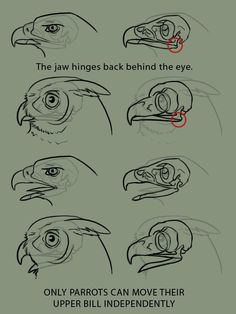 """Anatomy Drawing Reference xenozombiemorph: """" supaslim: """" because it is the bane of my existence to see artists who don't even TRY to get bird anatomy right, when they'll gladly put forth the effort to learn mammalian. Drawing Techniques, Drawing Tips, Drawing Sketches, Drawing Art, Drawing Ideas, Anatomy Reference, Drawing Reference, Bird Drawings, Animal Drawings"""