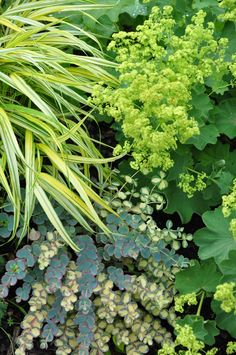 Mixing patterns in a garden can be beautiful. Here the striped pattern of the Japanese Hakone Grass contrasts beautifully with the dainty flowers of Lady's Mantel and a rounded leaf shape of Siebold Sedum.