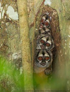 Night Monkeys (Owl Monkeys) - David G Hemmings