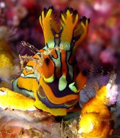 The Sea Slug Forum - Tambja affinis