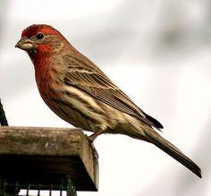 Purple Finch  - Cool Nature