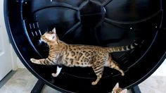 Bengal cat going for a casual walk on her Cat Wheel Cat Reference, Bengal, Cats, Flare, Gatos, Kitty Cats, Cat, Kitty, Cats And Kittens