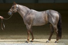 liver chestnut roan - Quarter Horse stallion Peptos Bar