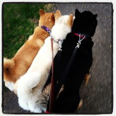 I will own three shibas just like these guys!