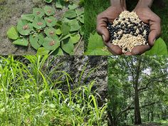 Medicinal Rice Formulations for Diabetes Complications, Heart and Kidney Diseases (TH Group-89 special) from Pankaj Oudhia's Medicinal Plant Database