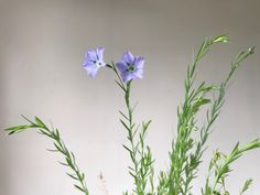 F & M Research | Positive by Nature Project.  European Flax Flower. Beautiful linen textiles are created from the fibres of this plant. #linen #plantmaterials #naturalfibres #naturalmaterials #sustainable #plants #research #flax