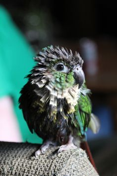 Zuko after a bath. Green cheeked conure.