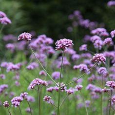 Buy purple top Verbena bonariensis: £13.49 Delivery by Crocus