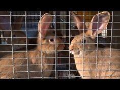 Бургундские и калифорнийские кролики — полноценные окролы в жару