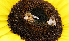 Populations of bees, butterflies and other species important for agricultural pollination are declining, posing potential risks to major world crops, a UN body on biodiversity said Friday...