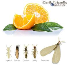 How to inexpensively get rid of termites yourself household orange oil termite treatment a safe effective alternative to fumigation solutioingenieria Image collections