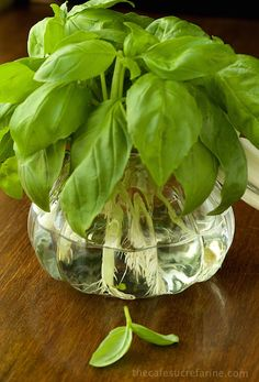 How to Propagate Basil - So simple.and one of the best tricks ever!