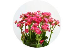 adoro FARM - floriografia: calandiva