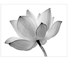 Lotus Opening Acrylic