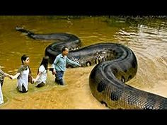 Here you will get Best HD rare Anaconda photos you never seen before. These are the best images of Anaconda, you people are craving for. Anaconda Gigante, Giant Anaconda, Anaconda Snake, Green Anaconda, Scary Animals, Large Animals, Funny Animals, World's Largest Snake, World Biggest Snake