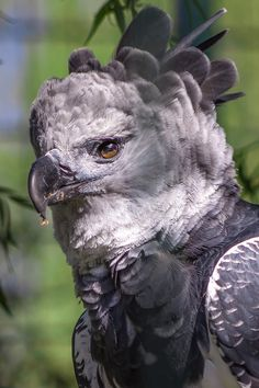 Picture of a harpy eagle.