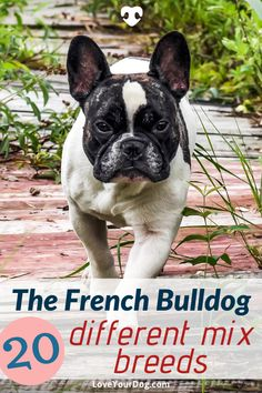Here are a list of 20 common and uncommon French Bulldog mixes you might want as your next furry best friend! Types Of Dogs Breeds, All Types Of Dogs, Dog Breeds, Dog Training Techniques, Dog Training Tips, R Dogs, Dogs And Puppies, French Bulldog Mix, Dog Mixes