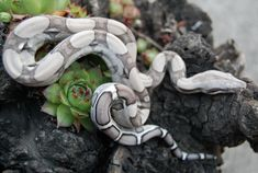 Reptiles and Amphibians Pretty Snakes, Cool Snakes, Beautiful Snakes, Boa Constrictor, Cute Reptiles, Reptiles And Amphibians, Geckos, Beautiful Creatures, Animals Beautiful