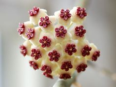 Stunning Photos Of Geometrical Plants For Symmetry Lovers----Hoya Kerrii.