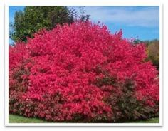 burning bush for landscaping