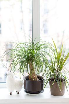 The Cheerful Ponytail Palm Is Pretty Easy to Keep Happy