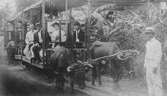 Tranvía tirado por bueyes en Hormigueros, Puerto Rico (1904)