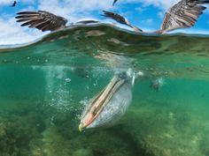 Brown Pelican Fishing, Borrero Bay, Santa Cruz Island, Ecuador