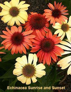 Coneflowers for the garden