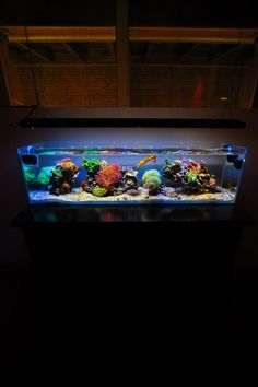 Page 30 of 58 - 3 Foot Office Nano - Version 2.0 Plumbing - posted in Members Aquariums: Ive got an Aussie Gold Torch that did the same thing. It was fine for weeks and now, in the span of a few days, it looks like its not going to make it. Very frustrating.   Tank looks great, though, man!