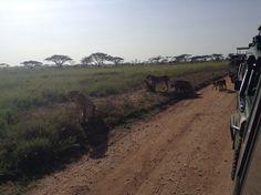 Serengeti safari.