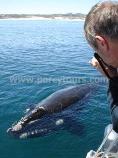 Whale watching boat trips in Hermanus are incredible (June to Dec) - http://www.percytours.com/whale-watching-boat-trips-in-hermanus.html