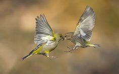Marco Redaelli perfectly captures the European Greenfinch birds in the wild as they swoop together to take the seeds from each other's beaks.
