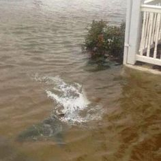 A shark was photographed swimming in the front yard of a flooded home in Brigantine Beach, New Jersey as Hurricane Sandy pounded the eastern seaboard. The amazing picture was spotted by WBTW, which . Hurricane Pictures, Nova Jersey, Jersey Girl, Pet Shark, Shark Swimming, Fake Pictures, Fake Images, Adorable Pictures, Pretty Pictures