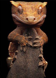 i heart reptiles Crested Gecko Reptiles Et Amphibiens, Mammals, Beautiful Creatures, Animals Beautiful, Animal Close Up, Funny Animals, Cute Animals, Unusual Animals, Strange Animals