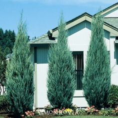 This thin columnar Juniper fits into very difficult places such as narrow side yards between homes. A super windbreak plant in both cold or hot climates. A hardy alternative to Italian Cypress in Mediterranean-inspired landscapes. Try planting in matched pairs or on four corners of a central courtyard. 15-20' tall, 2-3' wide