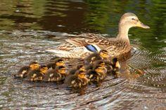 Vroege Vogels: Tien pulletjes