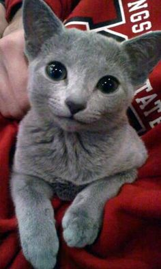Discover The Russian Blue Cats - Cat's Nine Lives Grey Kitten, Grey Cats, Blue Cats, Cute Cats And Kittens, I Love Cats, Kittens Cutest, Kitty Cats, Ragdoll Kittens, Funny Cats