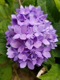 Easy Care for Beautiful Hydrangeas ~ Gwin Gal Inside and Out Hydrangea Care, Pink Hydrangea, Hydrangeas, Tall Plants, Outdoor Plants, Flower Beds, My Flower, Front Yard Decor, Flower Bed Designs