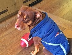 Lua is getting ready for the Patriots game! This lucky dog belongs to none other than Pats quarterback Tom Brady and his gorgeous wife, Gisele Bunchen :). Patriots Quarterbacks, Tom Brady And Gisele, Patriots Game, Afc Championship, Gisele Bündchen, Crazy Dog Lady, Happy Puppy, New Puppy, New England Patriots